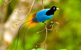 Greater Birds of Paradise HD Wallpapers 529