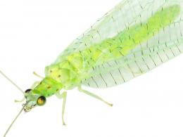 Green Lacewing Insects HD Wallpapers 110