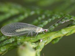 Green Lacewing Insects HD Wallpapers 409
