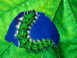 Caterpillar eating insect bug leaf green 230