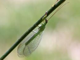 Green Lacewing Insects HD Wallpapers 233