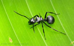 Polyrhachis insects hd wallpapers best background mobile images 1636