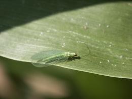 Green Lacewing Insects HD Wallpapers 1835