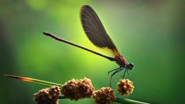 Plant Insect Dragonfly Green HD Wallpaper 462