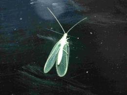 Green Lacewing Insects HD Wallpapers 1219