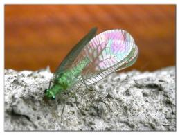 Green Lacewing Insects HD Wallpapers 479