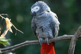 Grey Parrot Wallpapers 424