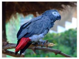 African Grey Parrot HD Wallpapers, African Grey Parrot 1476