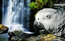 Grey Parrot HD Wallpaper 108
