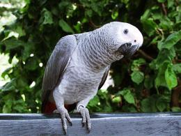 African Gray Parrot Desktop Images, Pictures, Photos, HD Wallpapers 1033