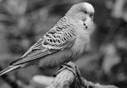 Grey Parrot Wallpapers 654