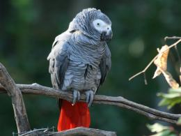 life of animals grey parrot like many large parrots the african grey 1111