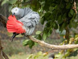 Grey Parrot Wallpapers 1725