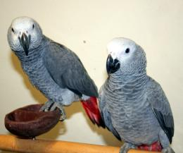 african grey parrot birds wide hd wallpaper download grey parrot 1673