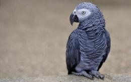 grey parrot bird hd wallpaper View african grey parrot bird hd 1083