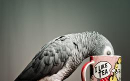 birds tea photography gray parrot 1280x1024 wallpaper download 727
