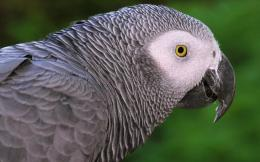 african grey parrot wallpaper dowload african grey parrot wallpaper 1211