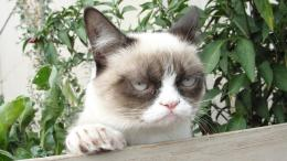 Grumpy cat tardar sauce cute animals HD Wallpaper 1475
