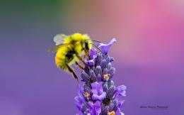 Honey Bee Lavendar Nectar 998