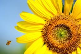 Sunflower Bee HD Wallpapers 114