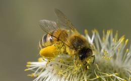 wallpaper honey bee beautiful picture honey bee hd new wallpaper 924