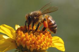 Honey Bee HD Wallpaper 434