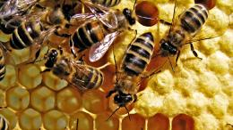 Honey Bee HD Wallpaper 1889