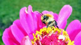 Are honey bees Wallpapers 694