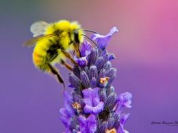 Honey Bee Lavendar Nectar hd wallpaper 1024x768 hd wallpaper for 1564