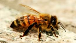 Honey Bee HD Wallpapers 141