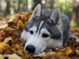 Siberian Husky Wolf HD Wallpapers 1427