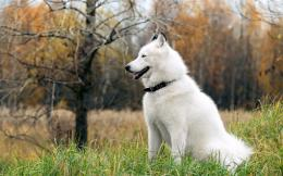 Huskies dogs hd wallpapers cool widescreen desktop pictures 1021