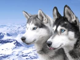 Cute Husky Puppies Wallpaper 11101 Hd Wallpapers 453