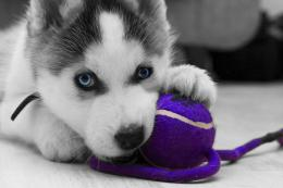 Siberian Husky Snow Dogs HD Wallpapers 601