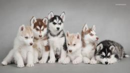 Siberian Husky puppies wallpaper 1366x768 365