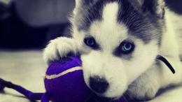 Wallpaper: Siberian Husky Puppies Wallpaper HD 1080pUpload at March 339