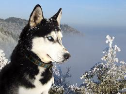 huskies dogs hd wallpapers cool widescreen desktop images huskies dogs 280