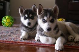 Dog Animal Picture Siberian Husky Puppies HD Wallpaper 1164