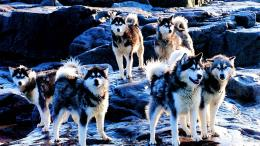 Huskies dogs high definition wallpapers cool widescreen desktop images 1979