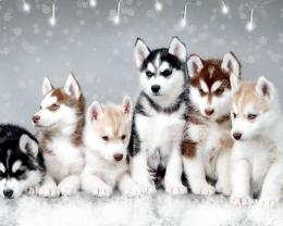 Husky Snow Dogs Free From Zet HD Wallpaper 215