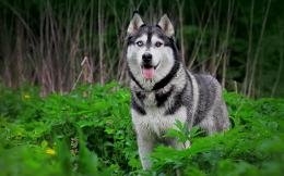 File Name : Siberian Husky Dog HD Wallpaper 795