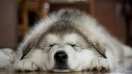husky sleeping wallpaper tags paws husky dogs sleeping wallpaper 716
