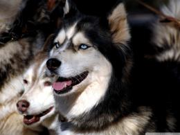 Download Husky Dogs wallpaper 1281