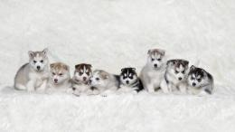 Siberian husky puppies huskies fluffy dogs HD Wallpaper 1666