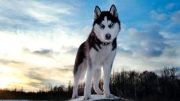 nature, animals, dogs , wolf , husky wallpapers 1660