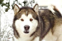 husky dog in winter snow animals HD Wallpaper 1527