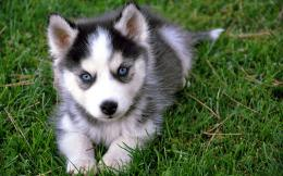 Huskies dogs high definition wallpapers cool desktop photos widescreen 520