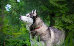 huskies dogs hd wallpapers cool widescreen desktop photos huskies dogs 1353