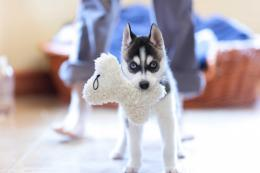 Husky Puppies 864