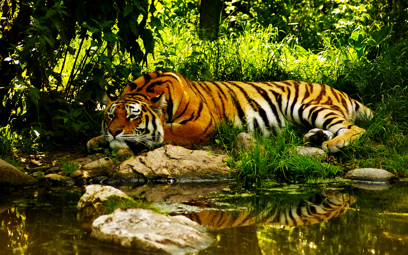 Tiger Resting near River Jungle Forest HD Wallpaper 1143